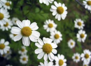 Topical Infused Oil of Chamomile for Carpel Tunnel Syndrome